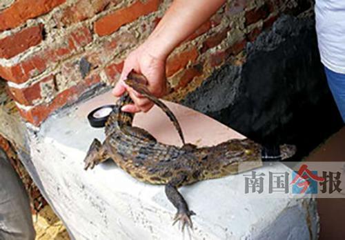 广西柳州市民捞到一条鳄鱼 疑有人当宠物养后丢弃
