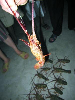 夜潜捉到的龙虾